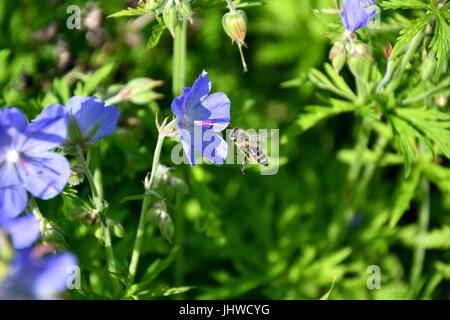 The Bee pollinating on the flower - Stock Photo