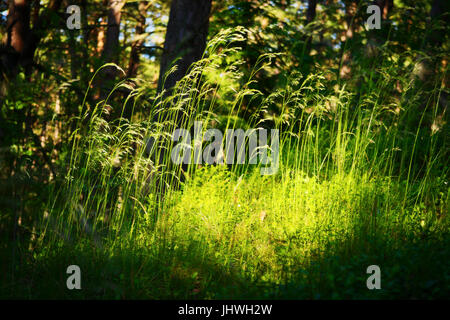 Forest undergrowth vegetation. Grass growing on herbaceous layer of understory or underbrush on forest glade. Selective - Stock Photo