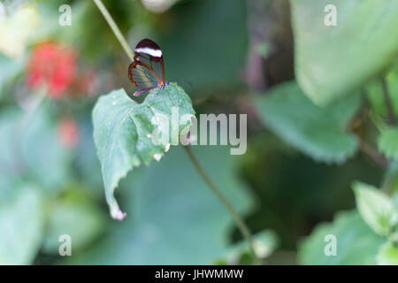Butterfly with transparent wings resting on a green leaf. - Stock Photo