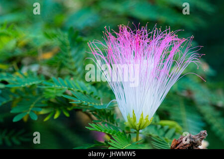 Mimosa pudica showing flower head and leaves - Stock Photo