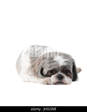 Cut.e small Havanese Dog laying on white backdrop looking tired and sad. - Stock Photo