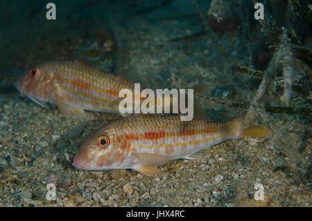 Striped red mullet, Mullus surmuletus, Mulidae, Tor Paterno Marine Protected Area, Rome, Lazio, Italy, Mediterranean - Stock Photo
