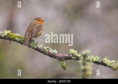 European Robin (Erithacus rubecula) on branch at Tehidy Woods Country Park, Cornwall - Stock Photo