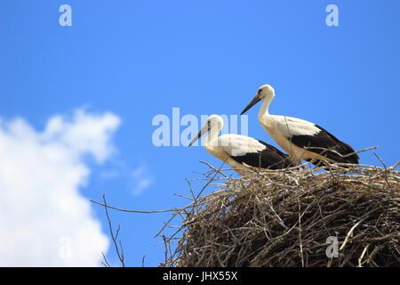 Young white storks in nest, European storks village Cigoc, Croatia - Stock Photo