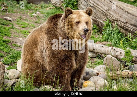 A captive grizzly bear in Montana is sitting by rocks. - Stock Photo