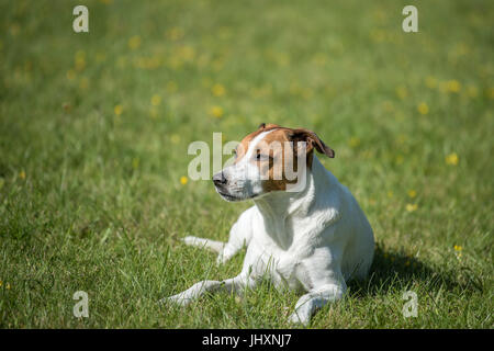 Danish Swedish Farmdog resting on a lawn. This breed, which originates from Denmark and southern Sweden is lively - Stock Photo