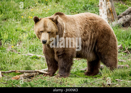 A sideview of a captive grizzly bear in Montana. - Stock Photo