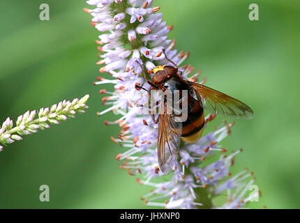 European hornet mimic Hoverfly (Volucella Zonaria). - Stock Photo