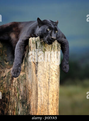 Young black leopard sitting on a tree trunk in the background of Savannah - Stock Photo
