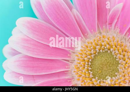 Macro of Pink Gerbera - Stock Photo