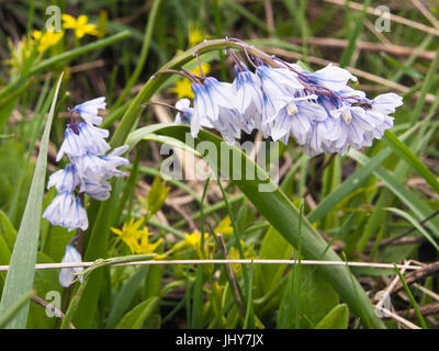 The blue and white Puschkinia scilloides, wildflowers in the springtime on the slopes of the Aragats mountain of - Stock Photo