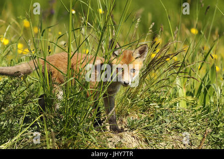 curious fox cub hiding in the grass, looking towards the camera ( Vulpes ) - Stock Photo