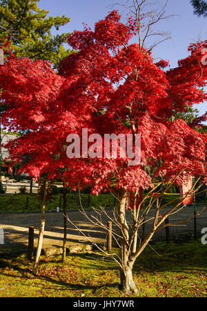 Maple tree at the park in Kyoto, Japan. Kyoto is famous for its numerous classical Buddhist temples, as well as - Stock Photo