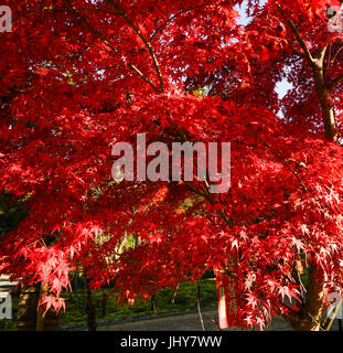Maple tree at the autumn in Kyoto, Japan. Kyoto is famous for its numerous classical Buddhist temples, as well as - Stock Photo