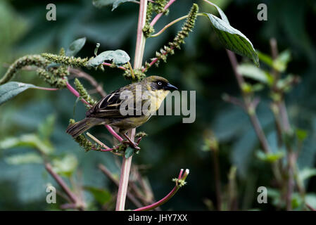 pine warbler (Setophaga pinus) sitting on branch, Addis Ababa Ethiopia - Stock Photo