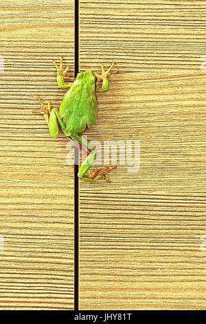 european green tree frog climbing on furniture ( Hyla arborea ); this cute frogs are common in the gardens so they - Stock Photo