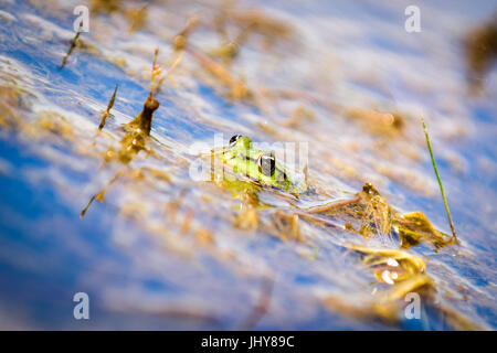 Common European water frog, green frog in its natural habitat, Rana esculenta - Stock Photo