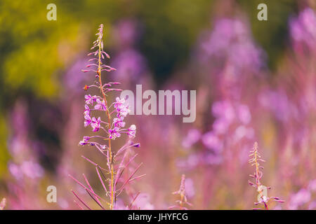 Pink flowers fireweed on spring meadow - (Chamaenerion angustifolium, also known as great willowherb and rosebay - Stock Photo