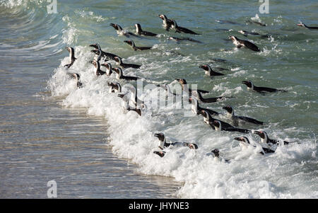 Penguins swimming in on the tide at Boulders Beach, Boulders Penguin Colony, Simon's Town, Cape Peninsula, South - Stock Photo