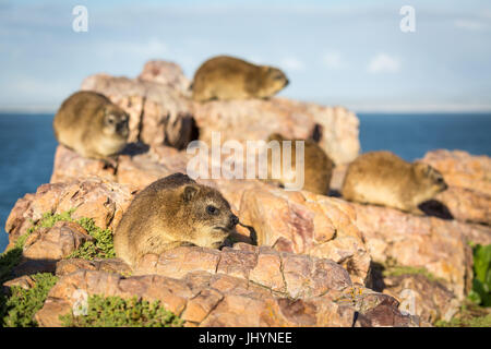 Rock Dassies (hyrax), Hermanus, Western Cape, South Africa, Africa - Stock Photo