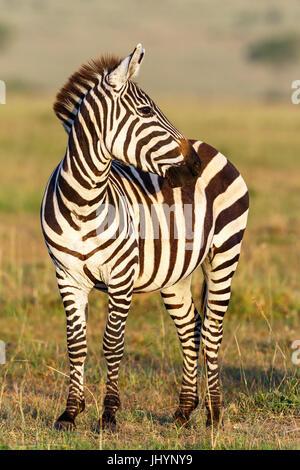 Close up of a Zebra on Africa's savannah - Stock Photo