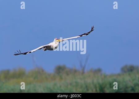 White Pelican in flight in the Danube Delta - Stock Photo