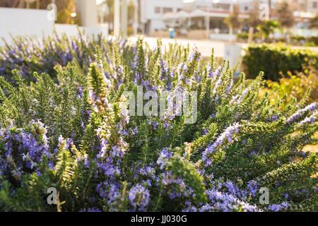 Lavender bushes closeup on warm sunset or sunrise. - Stock Photo