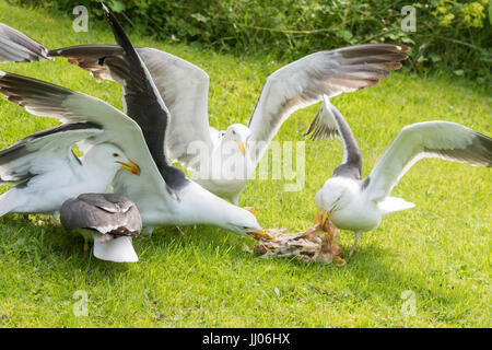 gulls in garden squabbling over cooked chicken carcass - Stock Photo