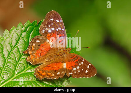 Brown Peacock / (Anartia amathea) / Scarlet Peacock | Rote Anartia / (Anartia amathea) - Stock Photo