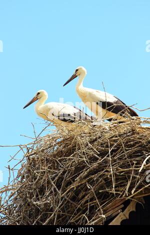 Young white storks, European storks village Cigoc, Croatia - Stock Photo