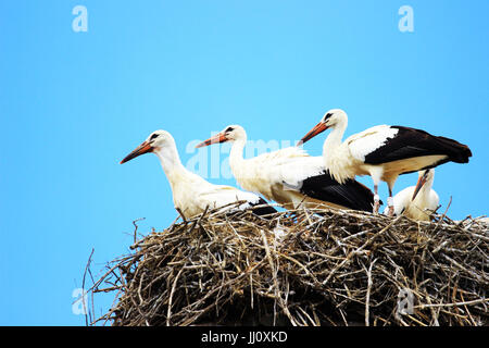 Four young white storks in nest on house roof
