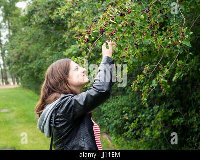 A pretty brunette girl picks saskatoon berries (Amelanchier alnifolia) in a saskatoon berry orchard near Saskatoon, - Stock Photo