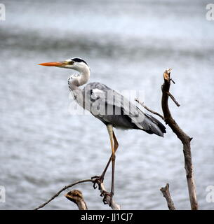 Great blue Heron standing on a wooden log - Stock Photo