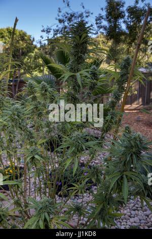 cannabis sativa, C sativa, sativa, cannabis plant, marijuana plant, medical marijuana, alternative medicine, medicinal - Stock Photo