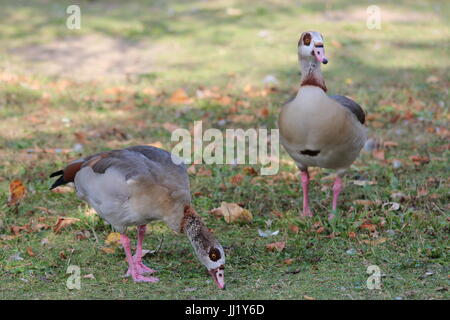 Alopochen aegyptiaca - A pair of Egyptian Geese in the park - Stock Photo