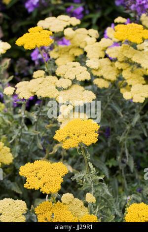 Achillea millefolium 'Moonshine'. Yarrow.Yellow flowering plant. - Stock Photo