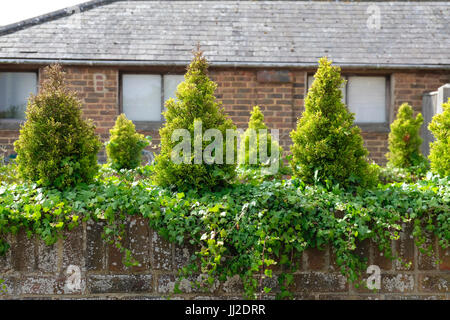 Dwarf Conifers and Ivy planted on top of old low brick wall - Stock Photo