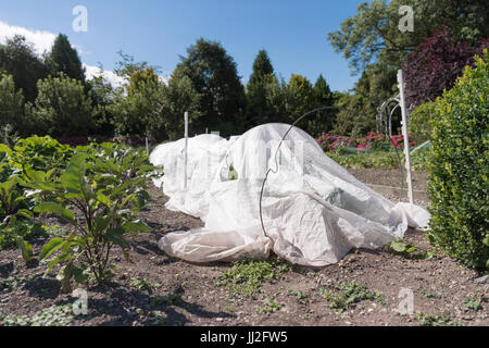 White polythene cloche protecting a row of vegetables in a vegetable garden - Stock Photo