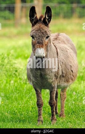 Donkey, mare / (Equus asinus) | Hausesel, Stute / (Equus asinus) / Esel - Stock Photo