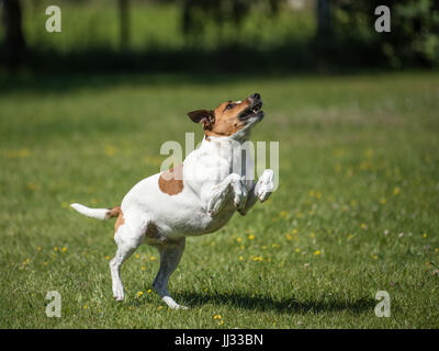 Danish Swedish Farmdog playing fetch with a ball. This breed, which originates from Denmark and southern Sweden - Stock Photo