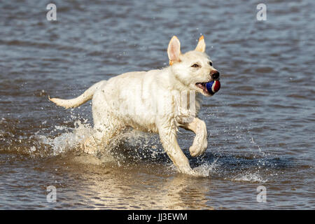 Southport, Merseyside, 18th July 2017. UK Weather. Gorgeous white German Shepherd puppy 'Drogo' is just having the - Stock Photo