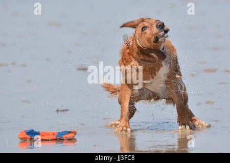 A dog shaking off water from the sea to dry off, on a beach in Summer, in the UK. - Stock Photo