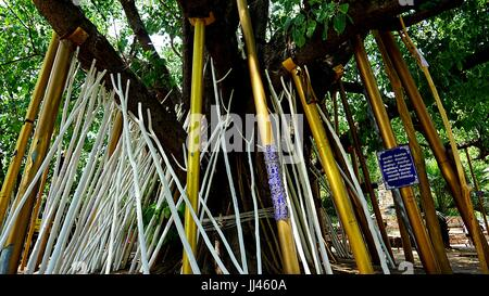 Wood sticks using to sustain tree in  Wat Ched Yot, Thai temple in Chiang Mai, Thailand. Some people believe it - Stock Photo