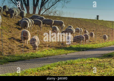 Herd of sheep grazing on a dike with green grass on the banks of the Rhine near Zons, Germany. - Stock Photo