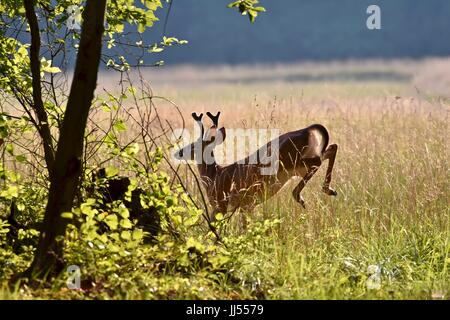 White-tailed buck deer in velvet (Odocoileus virginianus) running through field - Stock Photo