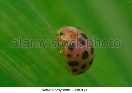 Orange Ladybug Holding on a Green Leaf - Stock Photo
