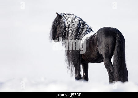 Friesian Horse. Black stallion standing in snow. Germany - Stock Photo