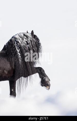 Friesian Horse. Black stallion performing the Spanish Walk in snow. Germany - Stock Photo