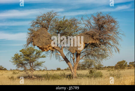 Sociable Weaver (Philetairus socius) community nest in a tree, Kgalagadi Transfrontier Park, South Africa. - Stock Photo
