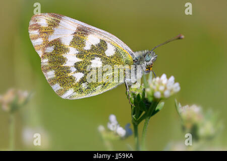 Eastern Dappled White (Euchloe ausonia) on a flower - Stock Photo